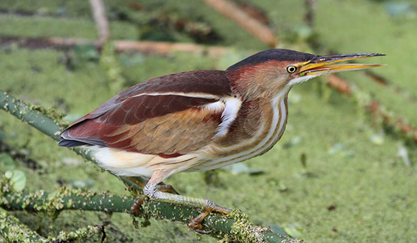 Least Bittern: A secretive wetland bird of MI